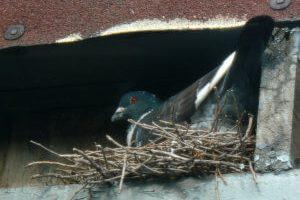 Vogelnest duif